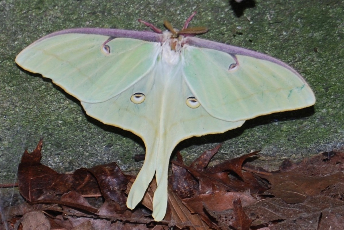 Luna Moth ©️Kelly Krechmer